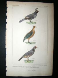 Cuvier C1835 Antique Hand Col Bird Print. Te Alleyed Falcon, The Rock Partridge, Californian Colin, 50